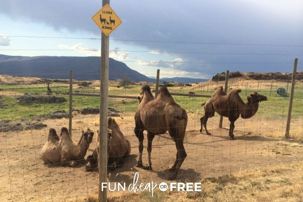 llamas at a llama farm, from fun cheap or free