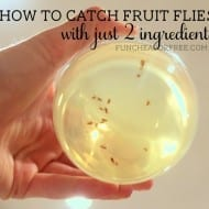 How to catch fruit flies: 2 ingredient death cocktail…muahaha