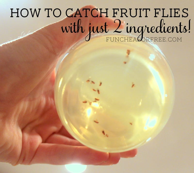 How to catch fruit flies - 2 ingredients that REALLY work