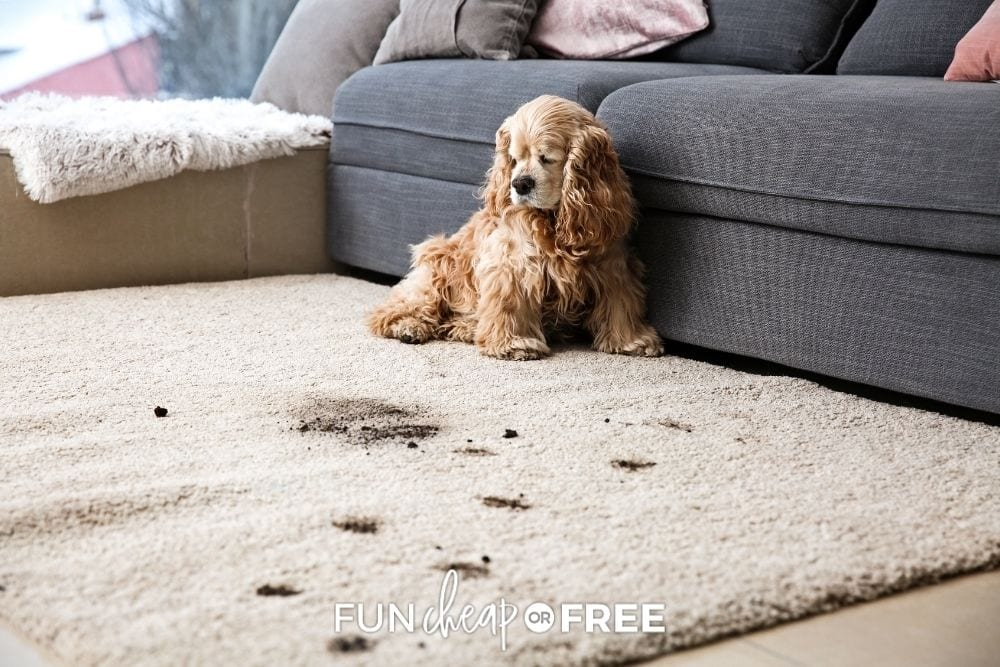 dog with muddy paw prints on carpet, from Fun Cheap or Free