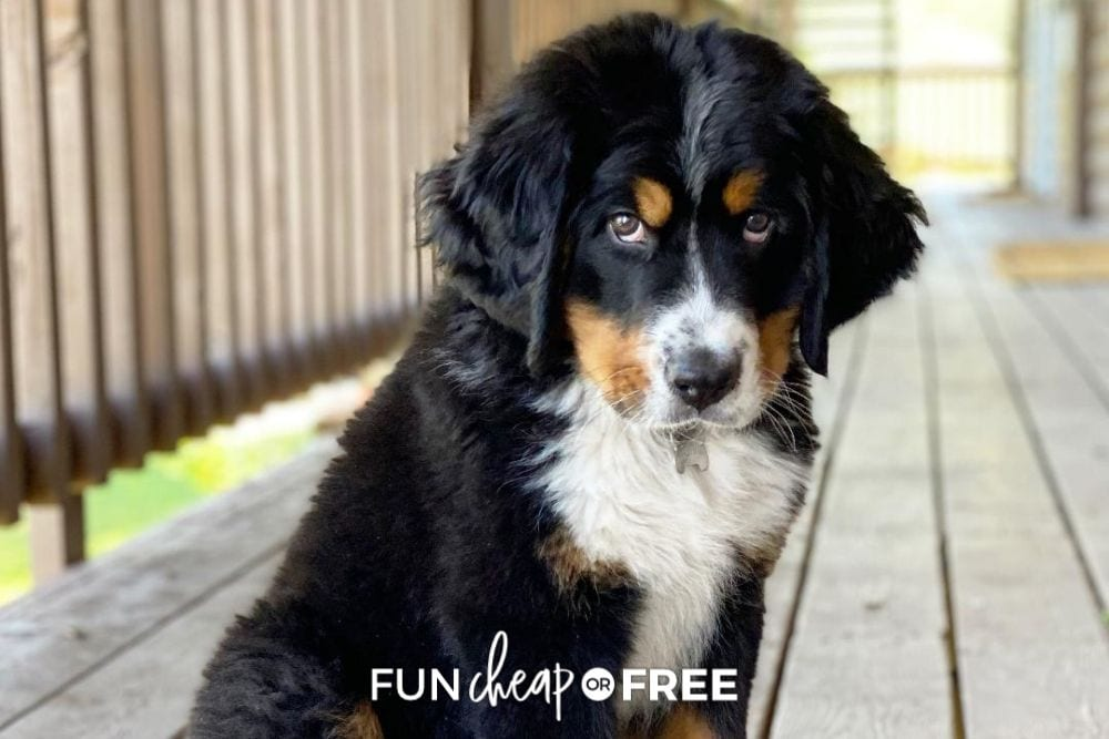 puppy on a deck, from Fun Cheap or Free