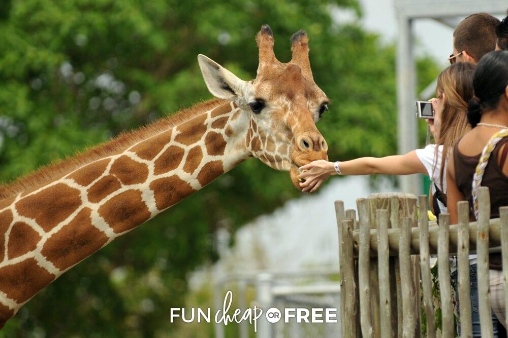 Woman feeding a giraffe, from Fun Cheap or Free