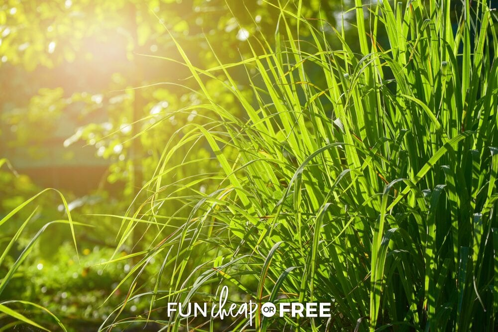 Lemongrass works wonders at keeping those pesky bugs away - Ideas from Fun Cheap or Free