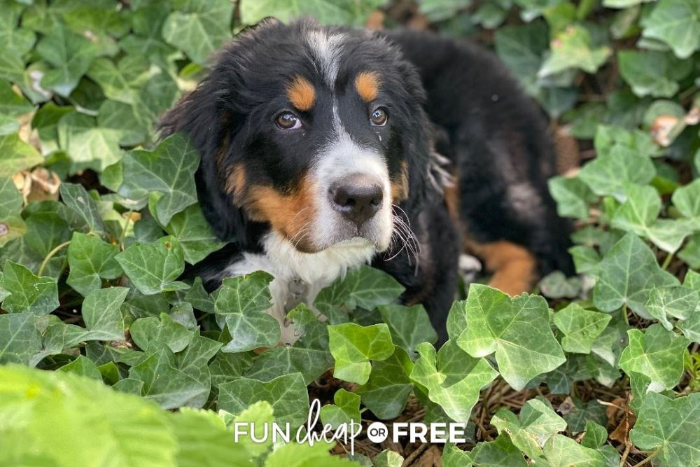puppy playing outside in ivy, from Fun Cheap or Free